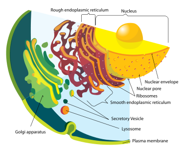 Endomembrane system diagram.png