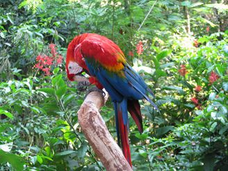 Red macaw.jpg