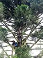 Climbing Araucaria for Pinhao - long stick.jpg