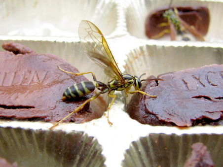 Wasp drinking liqueur chocolate.jpg