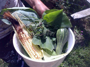 Our first sweetcorn.jpg