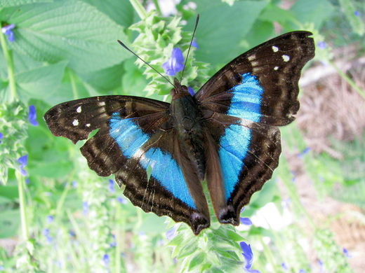 Blue butterfly on chia.jpg