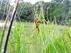 Spider on web with dew.jpg