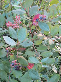 Blueberries almost ready.jpg