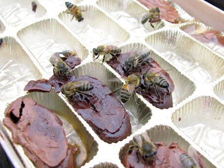 Bees drinking liqueur chocolate 1.jpg