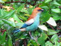 Blue and red bird eating berry.jpg