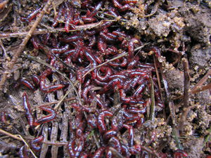 Baby worms.jpg