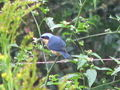 Blue and yellow bird with seed.jpg