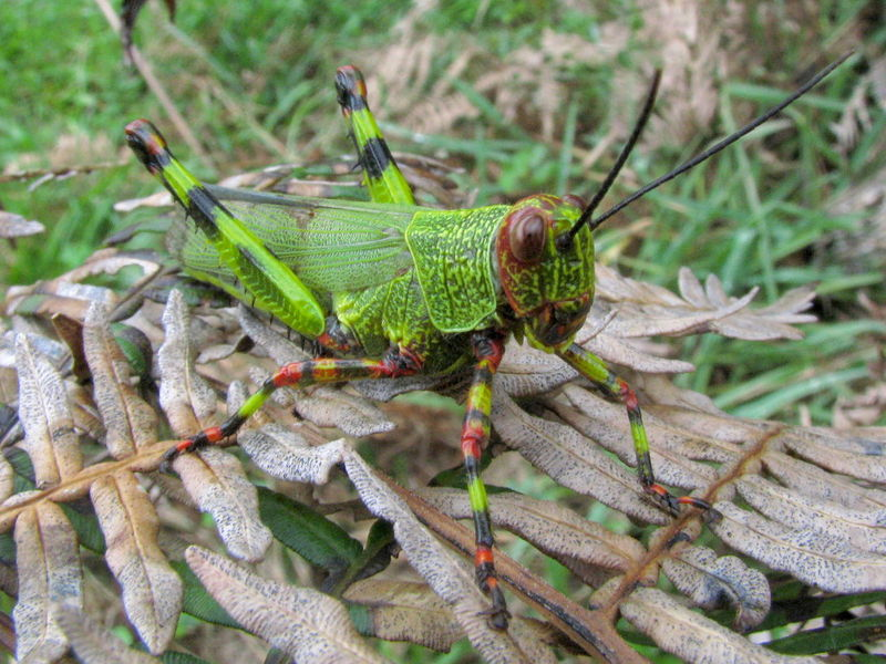 File:Green and red cricket.jpg