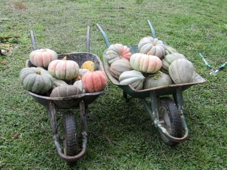 Wheelbarrows of pumpkins.jpg