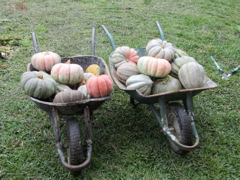 File:Wheelbarrows of pumpkins.jpg